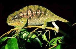 Carpet chameleon female