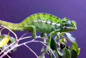 Carpet chameleon male