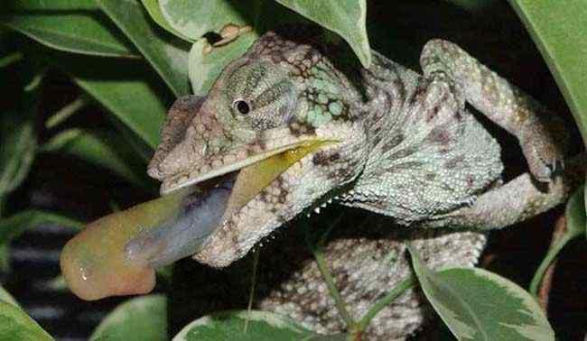 One of my chameleons shooting prey