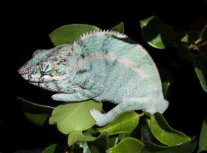 Ambanja Panther - blue