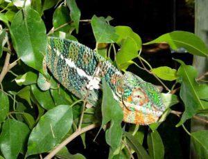 Ambanja Panther chameleon - dark green stripes and orange
