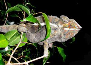 Ambanja Panther chameleon - dark colour, with orange