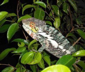 Ambanja Panther chameleon - grey/green colour
