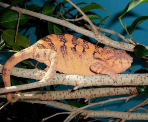 Female Ambanja Panther
