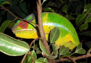 Nosy Mitseo Panther chameleon
