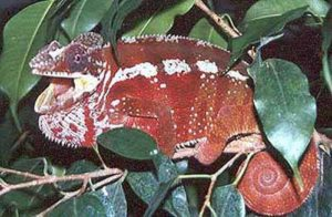 Tamatave Red Panther chameleon