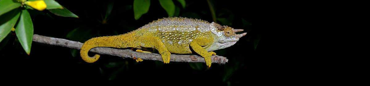 SA-Chameleons