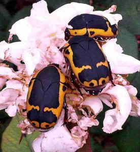 Pachnoda beetles in South Africa