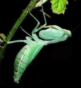 Praying mantis as chameleon food