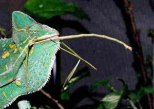 Stick insects eaten by chameleon