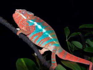 Gallery pic of panther chameleon
