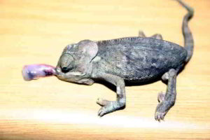 UV light for chameleons is essential to avoid MBD
